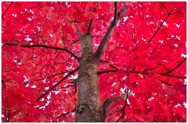 Ahornbaum-im-Herbst-Ahornholz